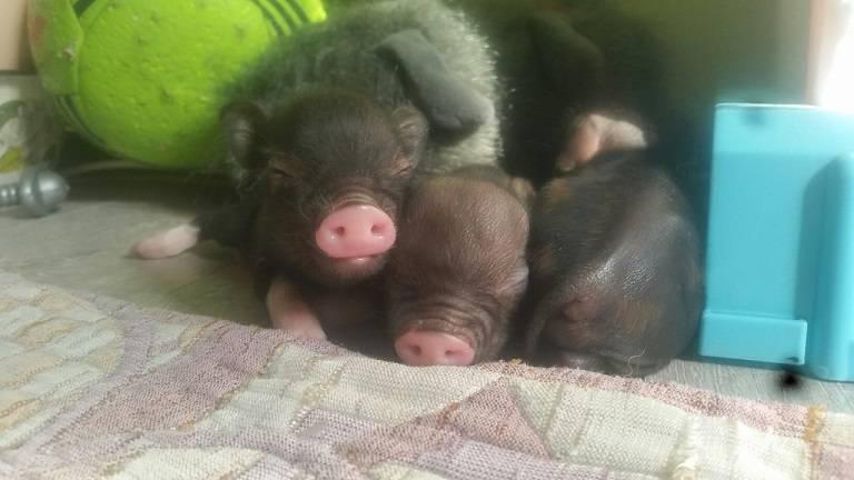 Новорождённые мини пиги