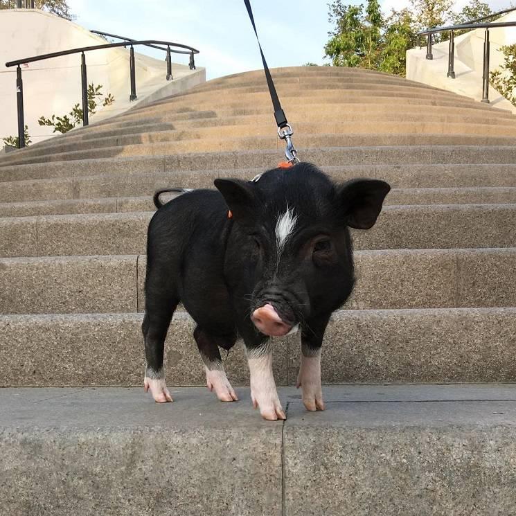 минипиг на лестнице