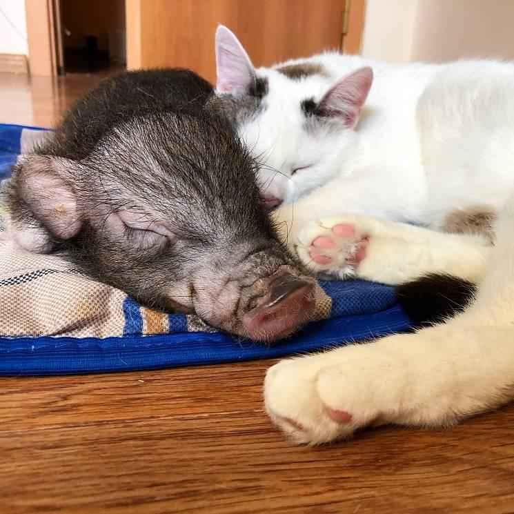 поросёнок и кот