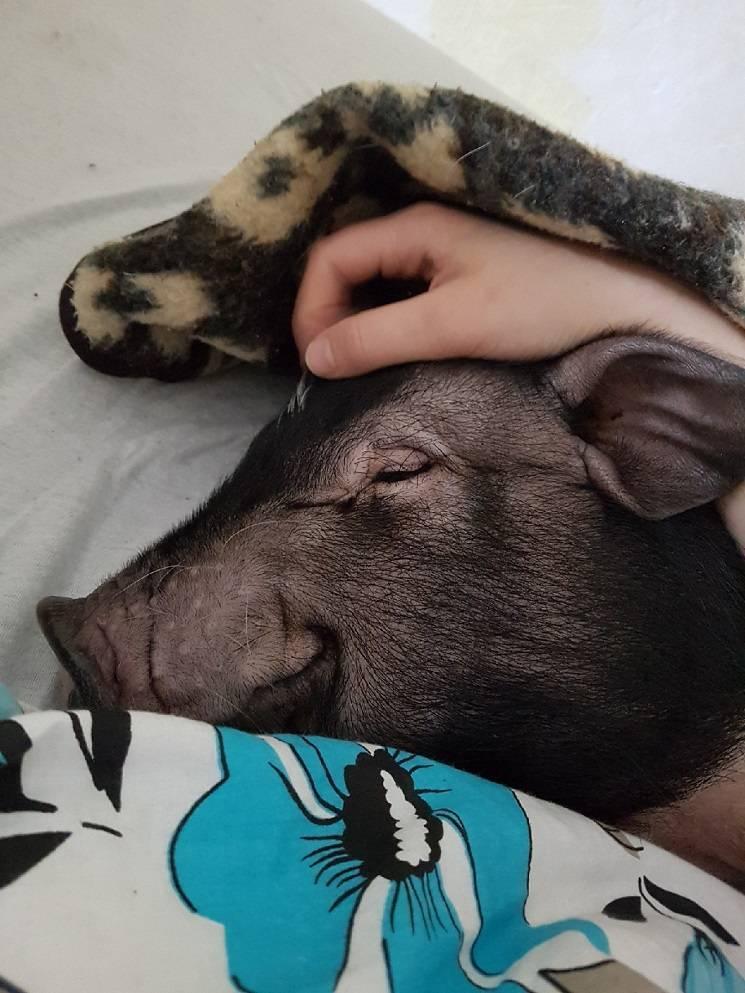 спящий мини пиг