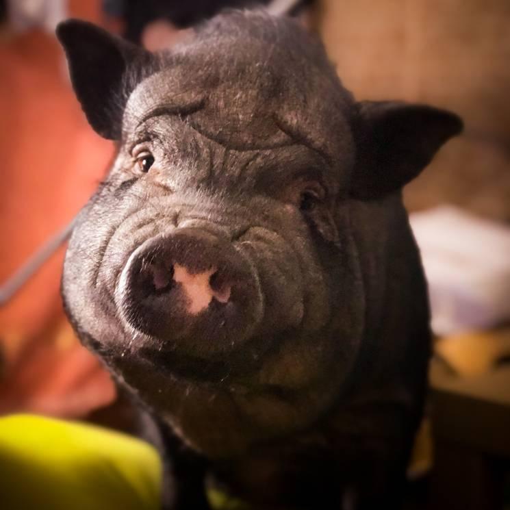 Декоративная свинья