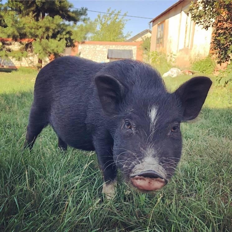 красивая свинья
