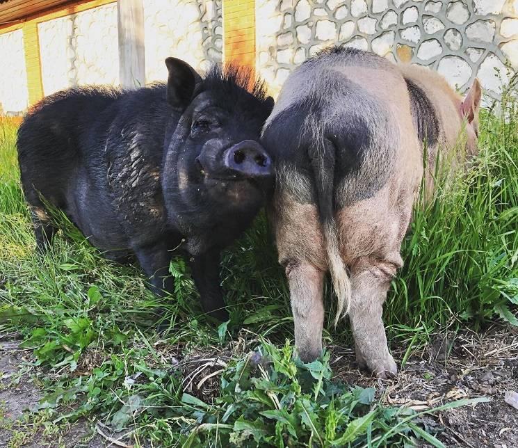 свинская дружба