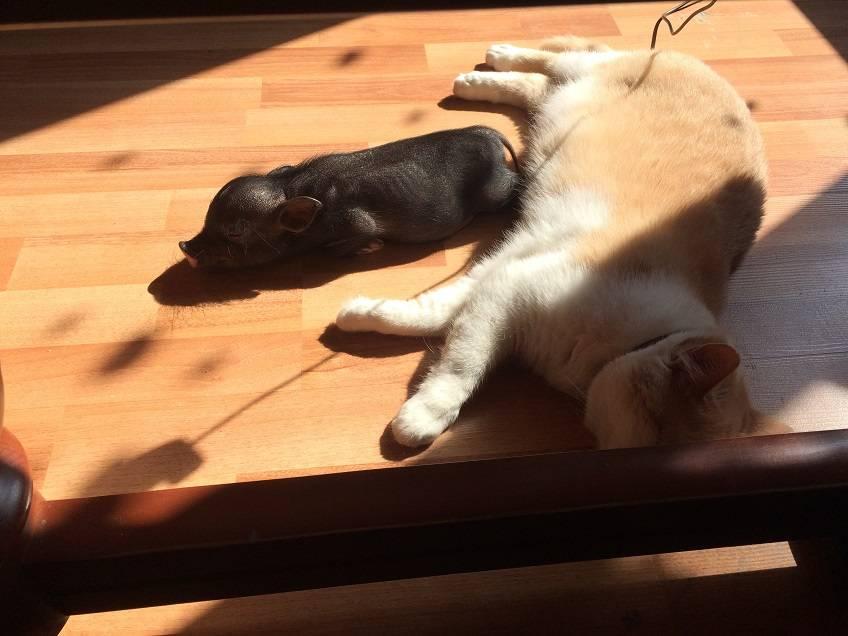 Хрюша и кот