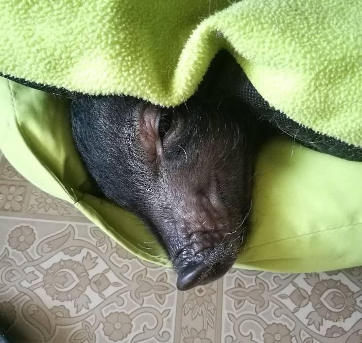 спящий поросёнок