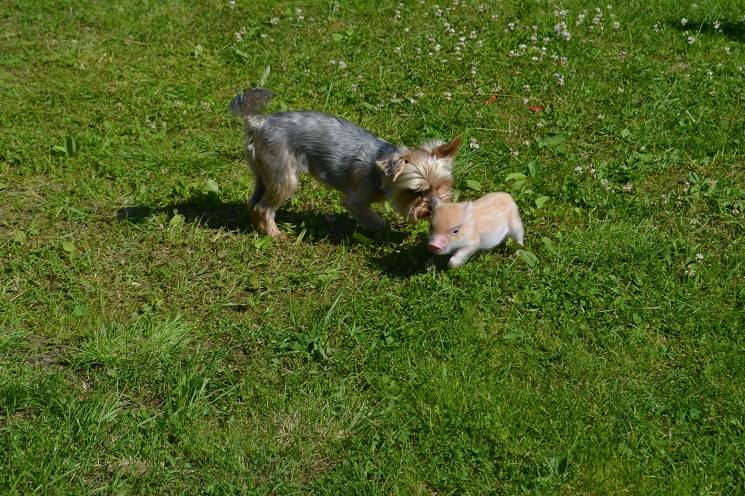 минипиг и пёс
