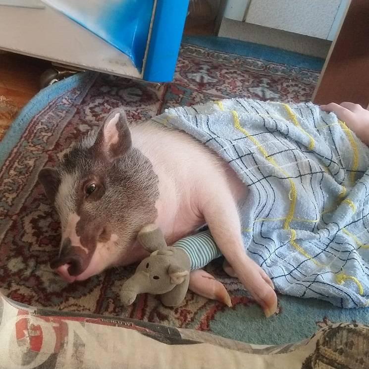 Трамп - свинья