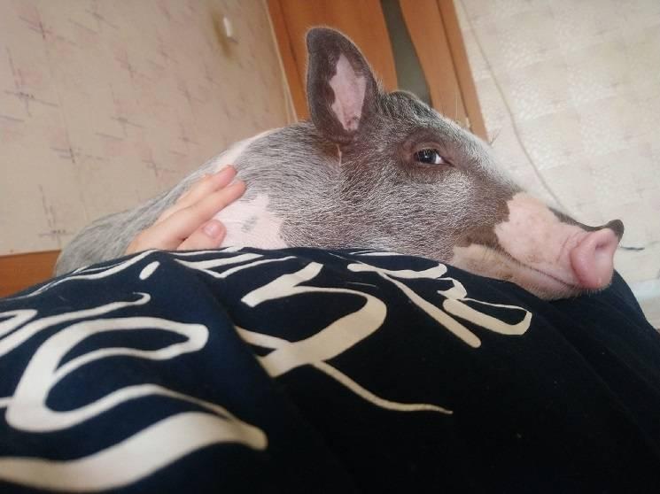 Мини-пиг отдыхает