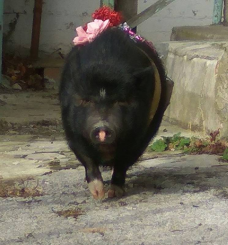 Прекрасная свинья