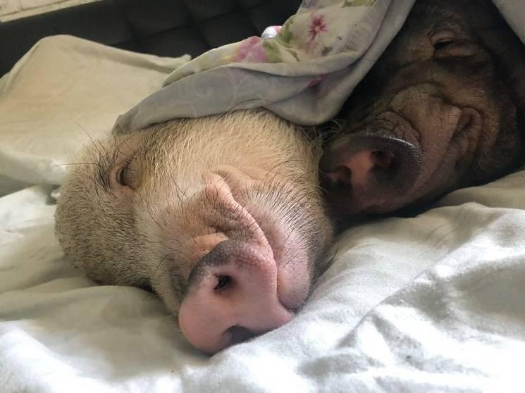 свинки чистюли