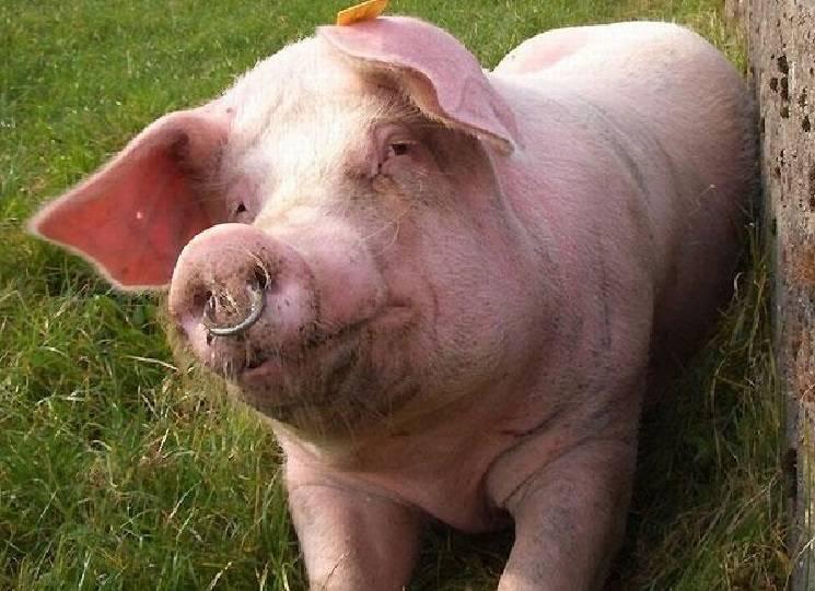 свинья кольцо в нос