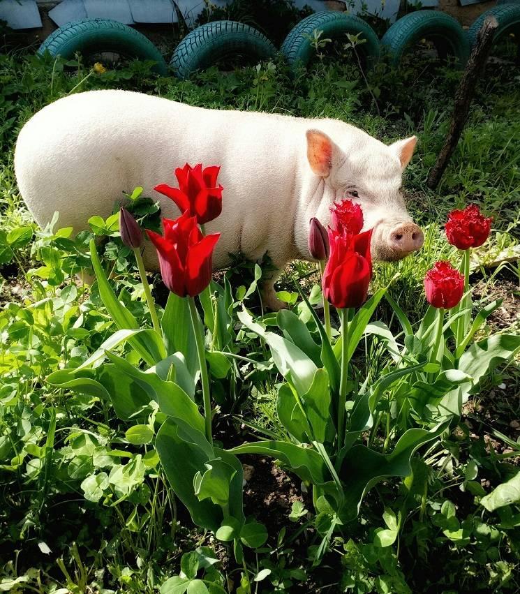 свинья в тюльпанах