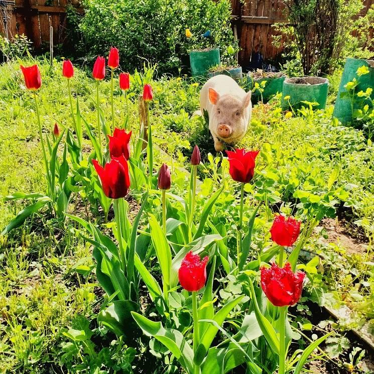 минипиг и цветы