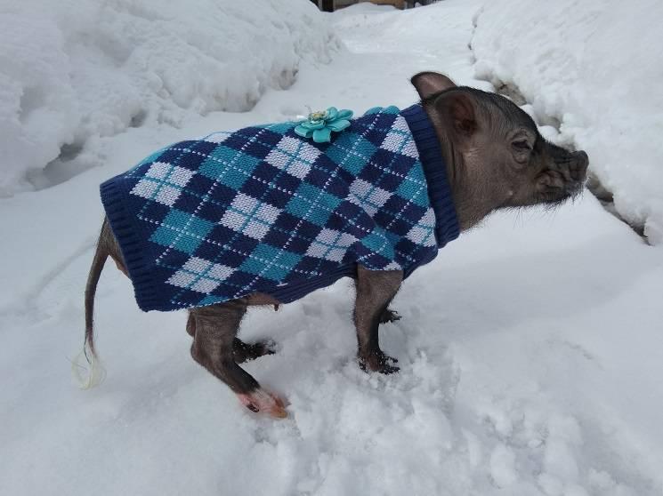 мини пиг зимой