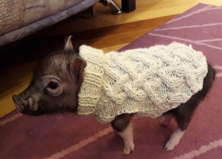 свитер для поросёнка