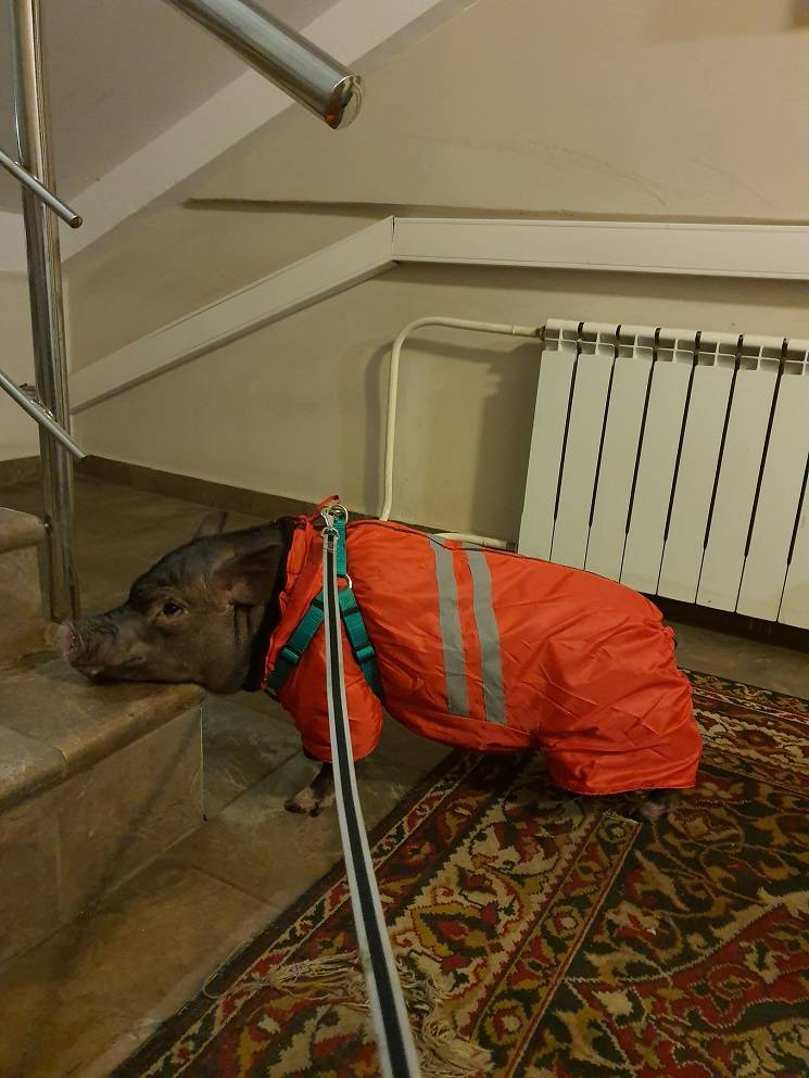 минипиг и лестница