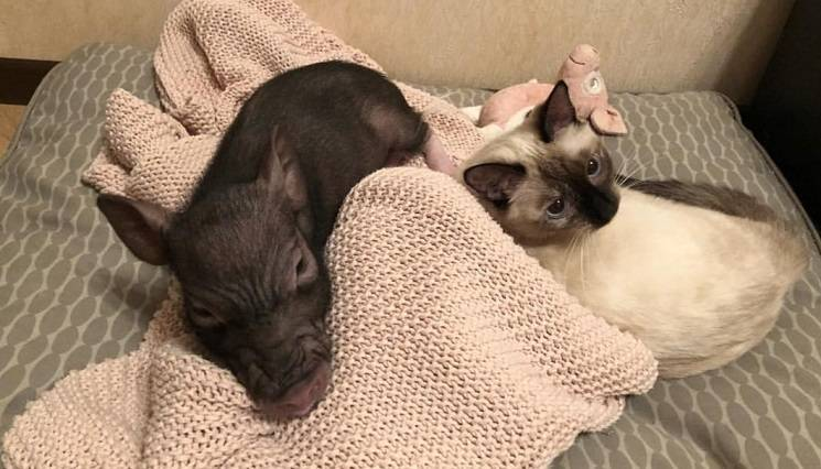 минипиг и кошка