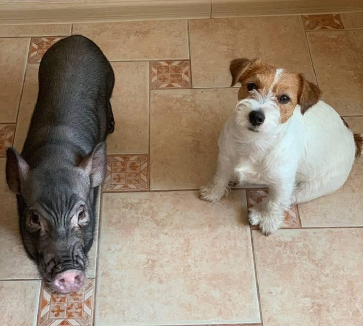 мини пиг и собака