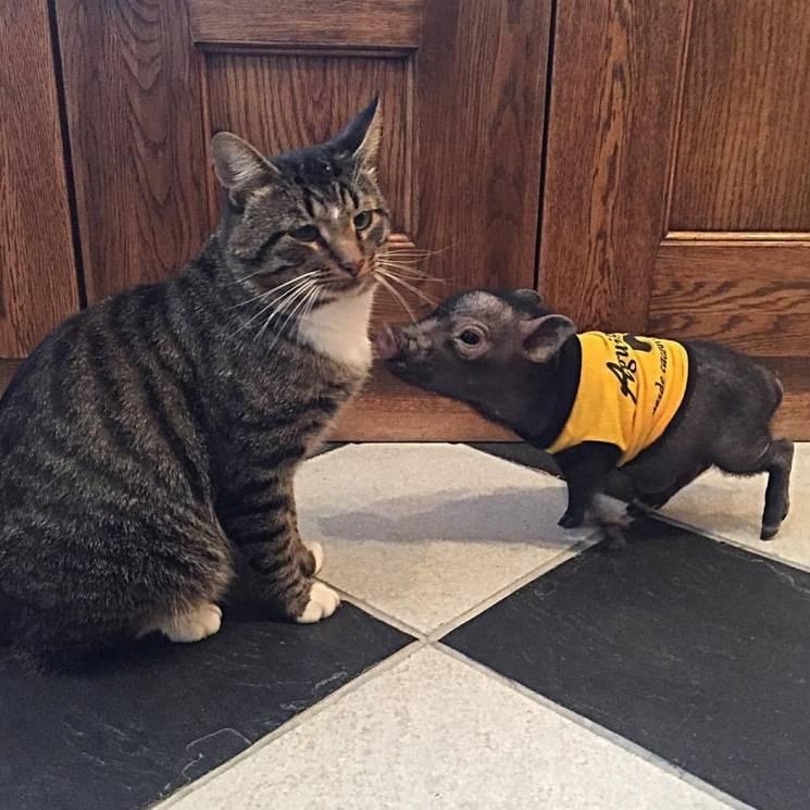 кот и поросёнок