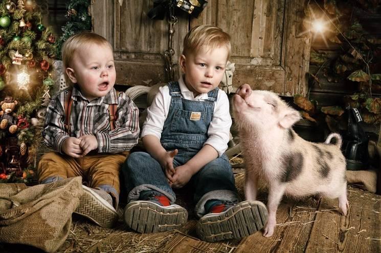 домашняя свинья