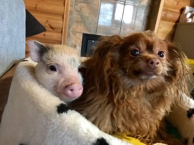 минипиг и собака