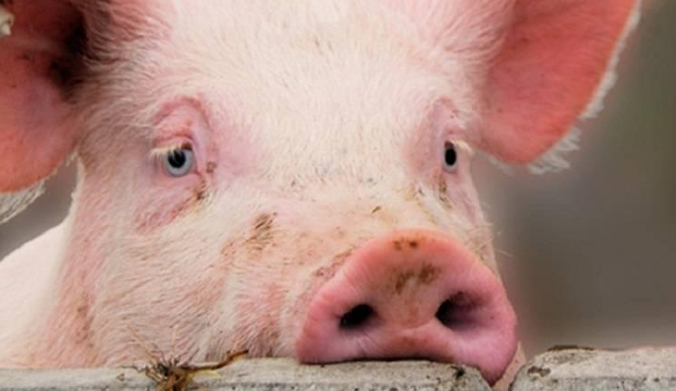 псевдобешенство свиней