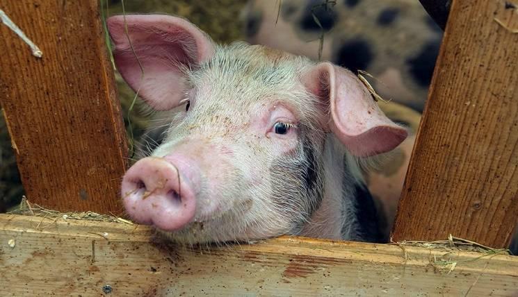 ложное бешество свиней