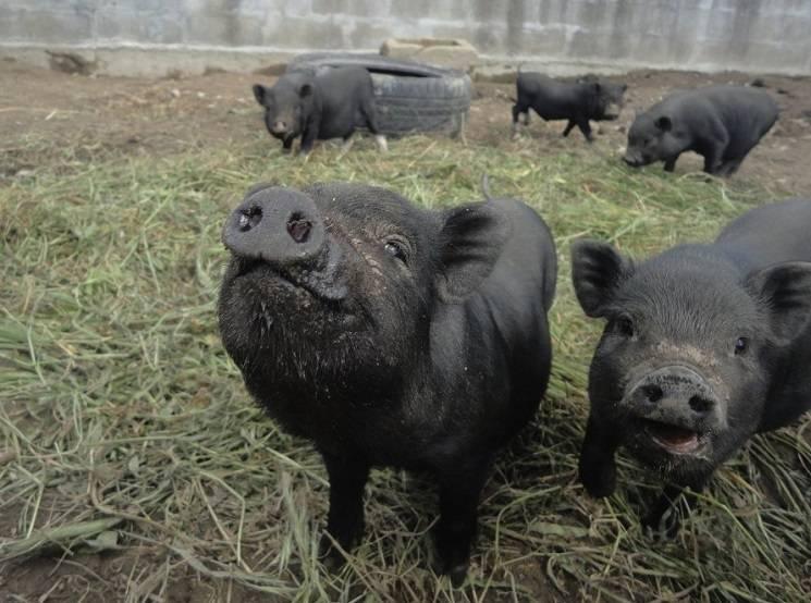 черная свинья фото
