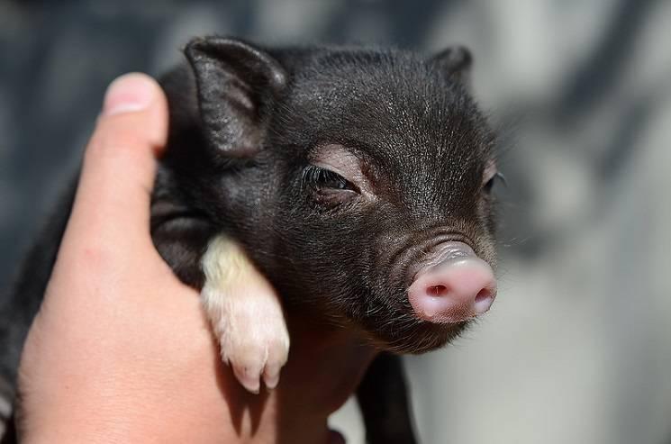 маленькая черная свинья