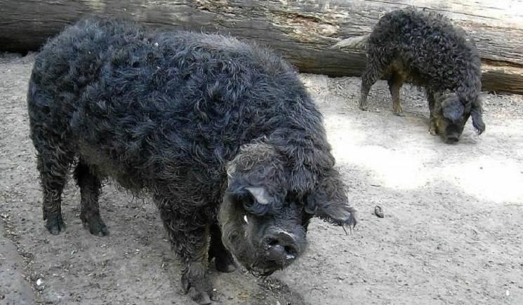 черные свиньи какая порода