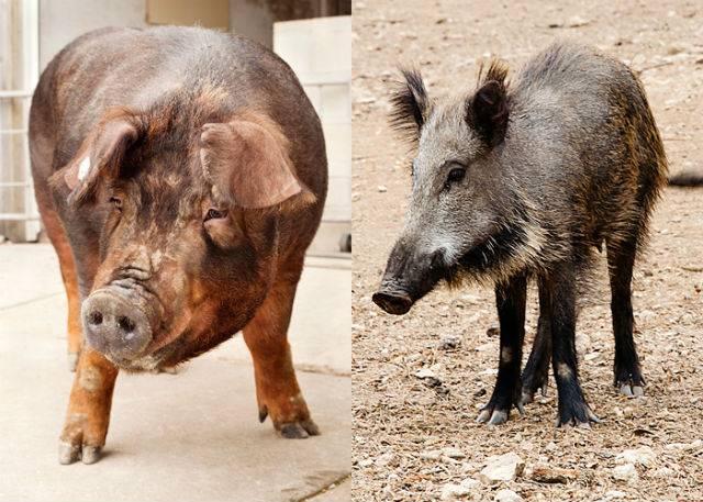 Такие разные свиньи