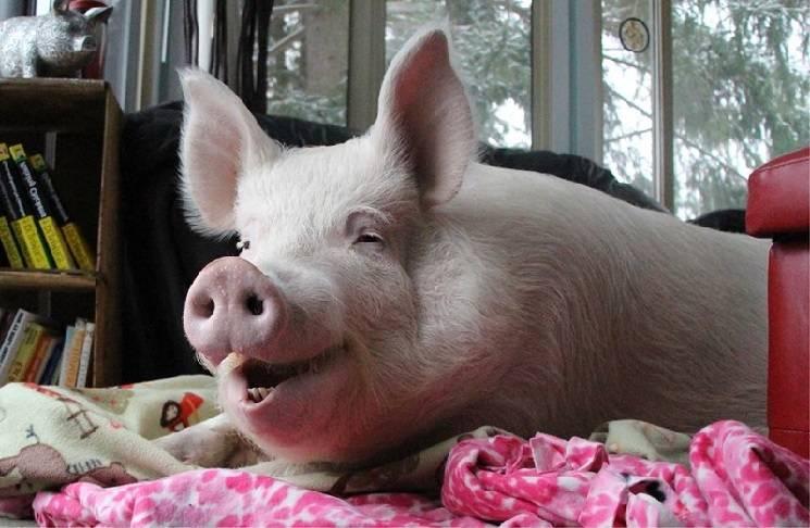 зубы свиньи