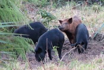 Одичавшие свиньи