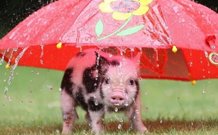 свинские приметы