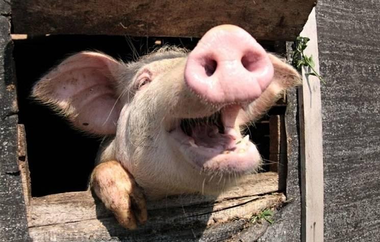 суеверия о свиньях