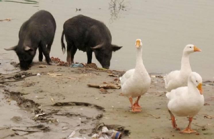 свиньи и гуси