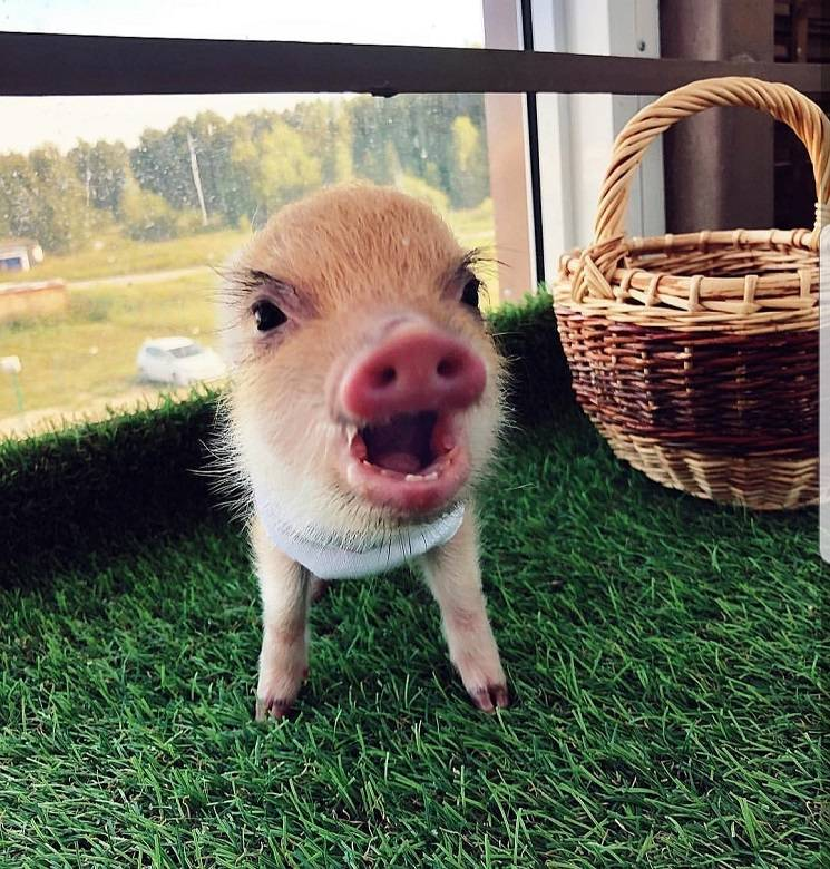 микро-пиг хочет завтрак