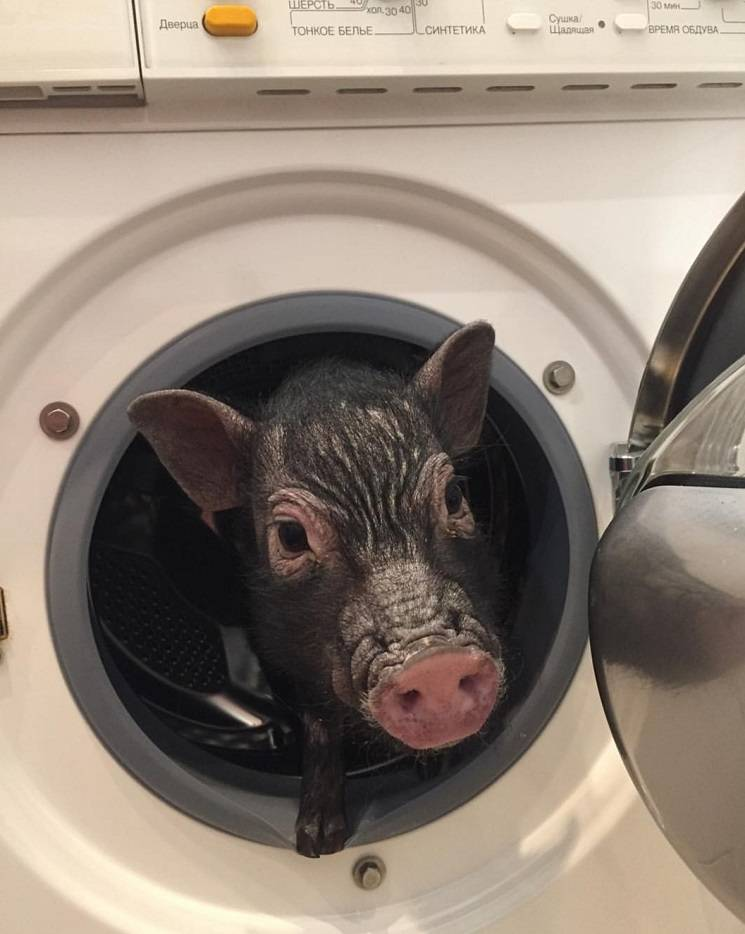 свинья в стиральной машине