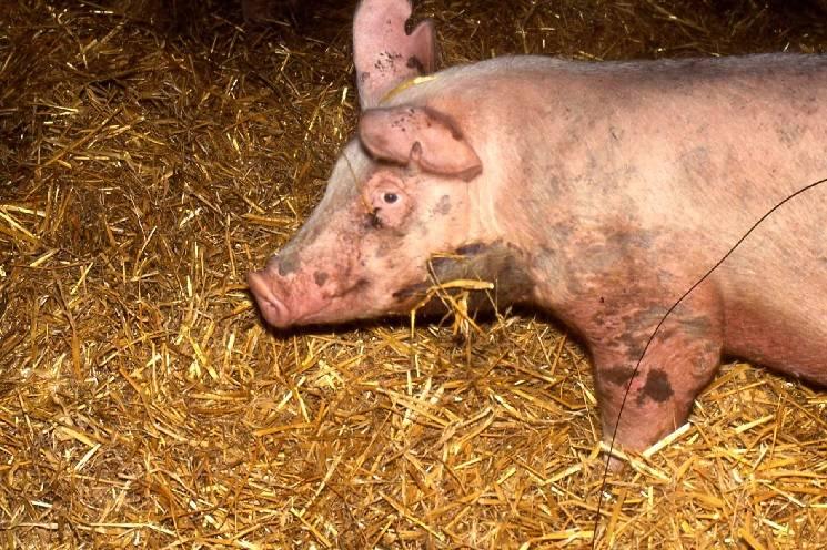 рожа свиней как выявить