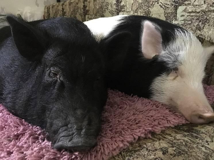дружные свинки