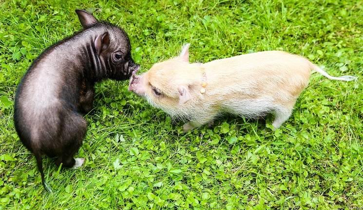 свиной хвост