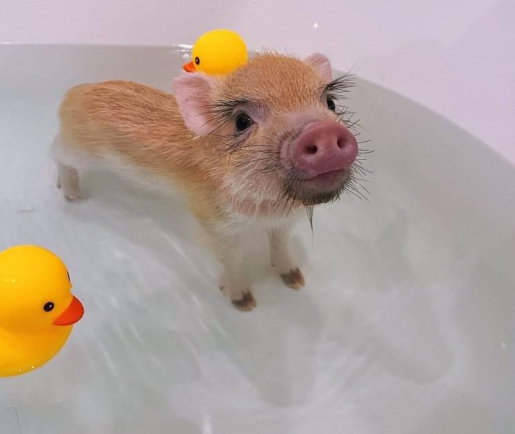 поросёнок в ванной