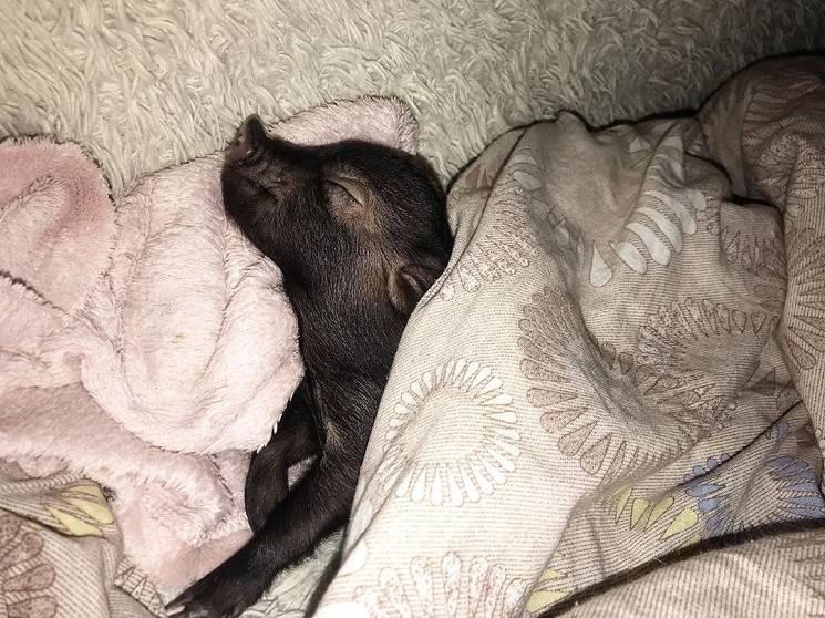 поросёнок спит