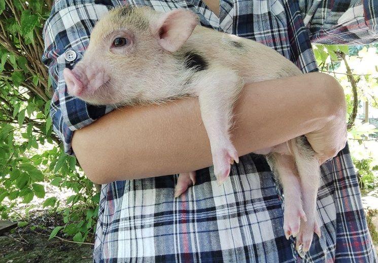 свинка на ручках