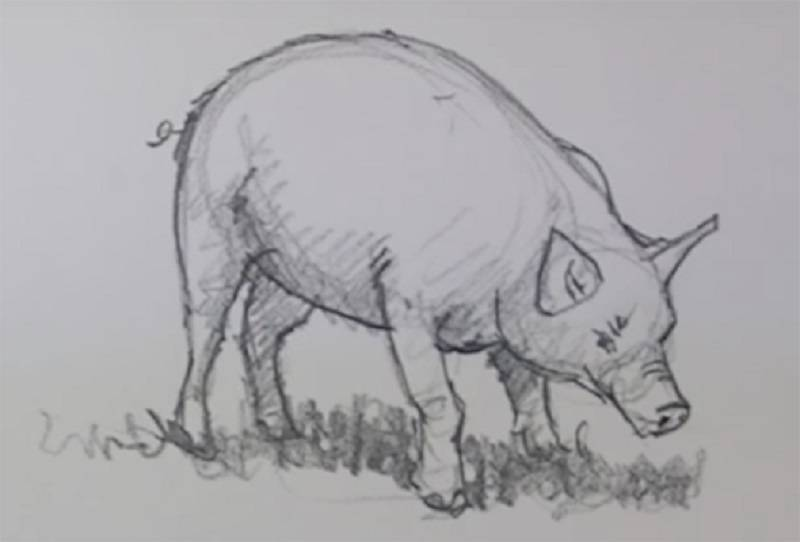 рисунок роющейся свиньи