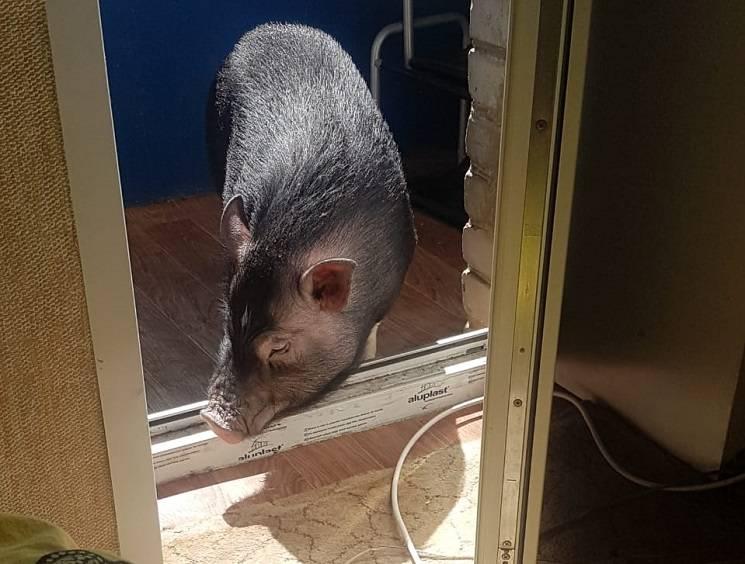 миниатюрная свинья