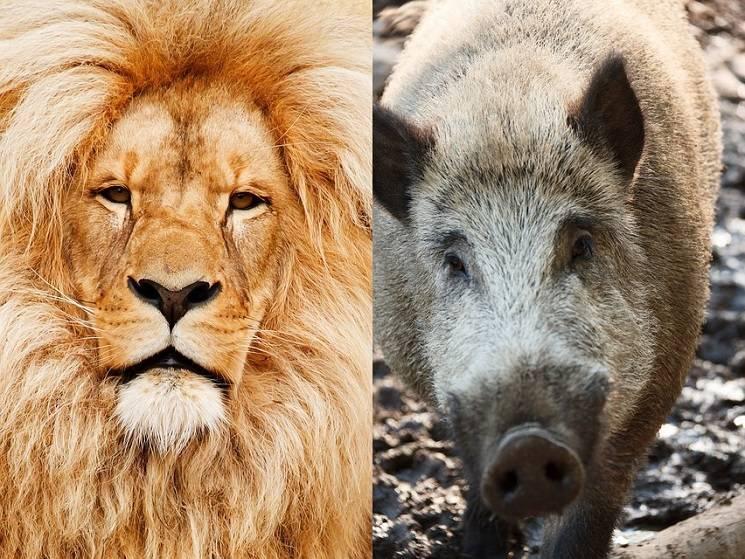 Лев или свинья