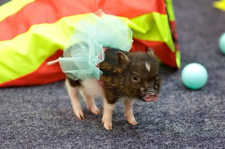 хрюша в платье