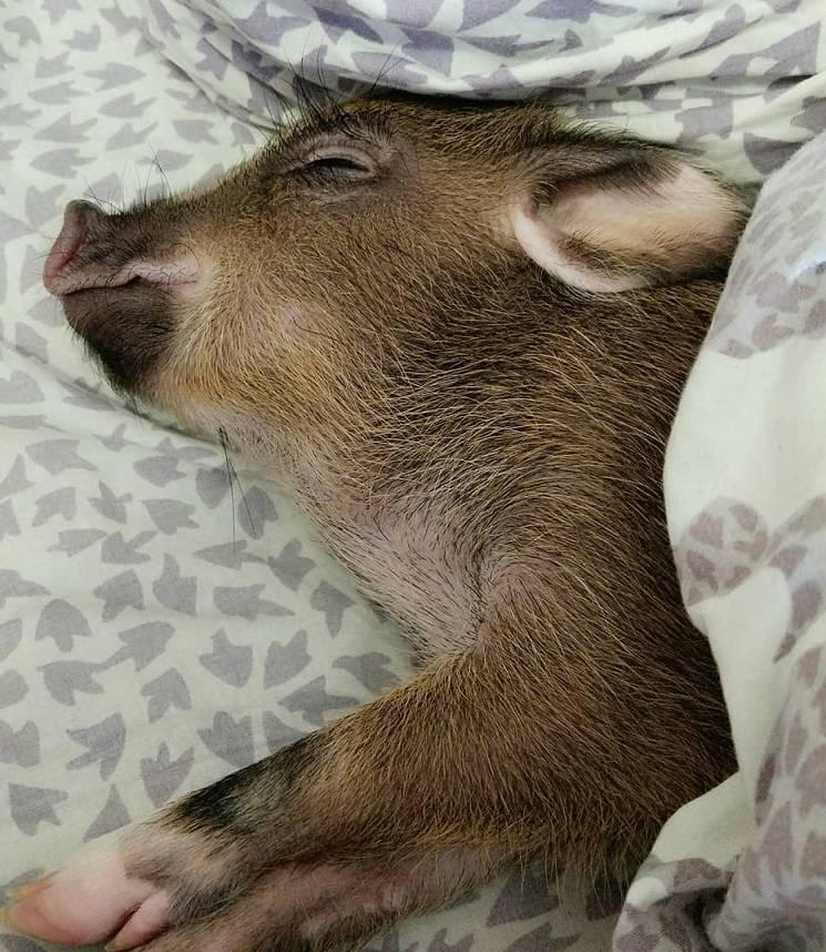 спящая хрюша