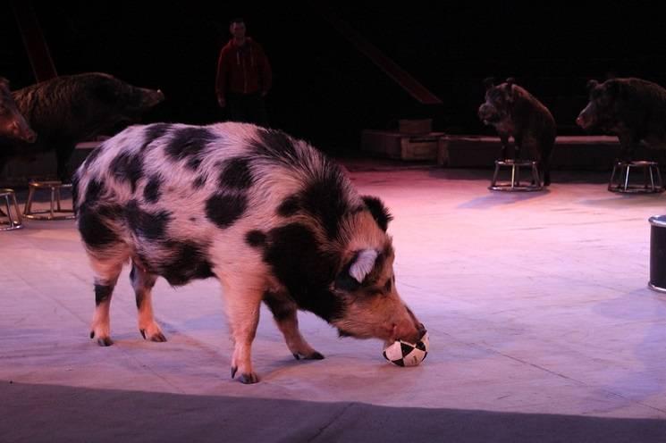 свинья в цирке